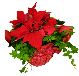 Ivysettia plant for the holidays